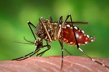 220px-Aedes_aegypti_during_blood_meal