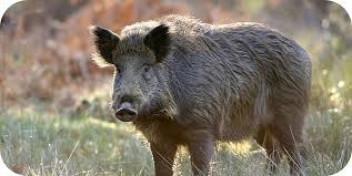 Wild-boar-representational-photo